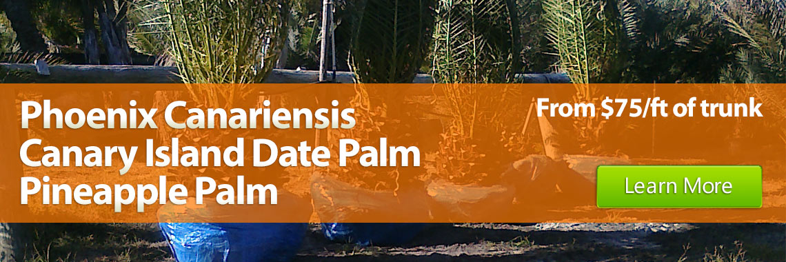 Phoenix canariensis Canary Island Date Palm or Pineapple Palm