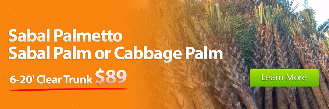 Sabal Palmetto Sabal Palm or Cabbage Palm 6-20' Clear Trunk $65