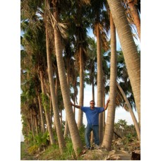 Chinese Fan Palm 28-38' Overall Height