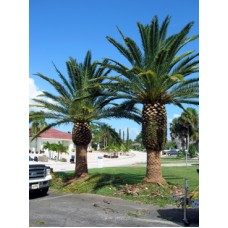 Canary Island Date Palm 12' Clear Trunk