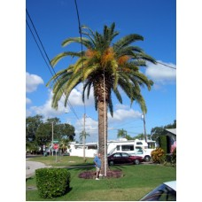 Canary Island Date Palm 24' Clear Trunk