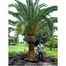 Canary Island Date Palm 8' Clear Trunk