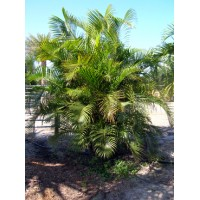 Areca Palm 8-10' Overall height
