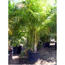 Areca Palm 15 Gallon