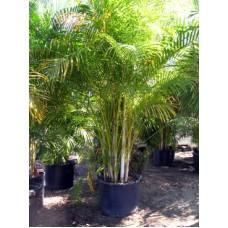 Areca Palm 15 Gallon