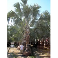 Bismarck Palm 14-16' Overall Height