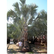 Bismarck Palm 10-12' Overall Height