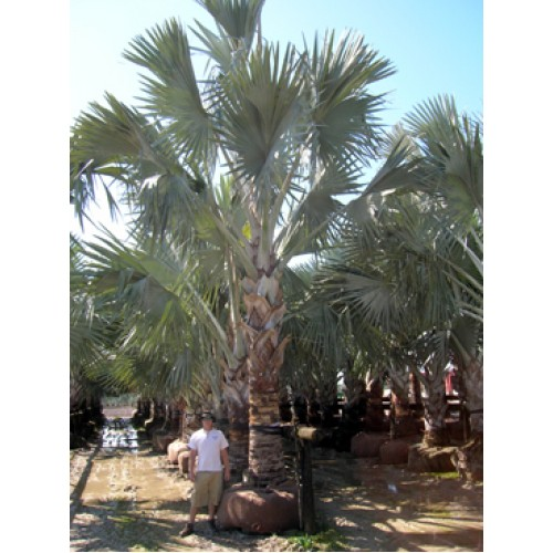 Bismarck Palms Tampa Florida