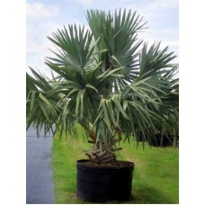 Bismarck Palm 25 Gallon