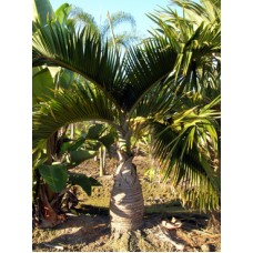 Bottle Palm / Hyophorbe lagenicaulis 5-6' Overall Height