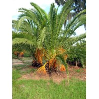 Canary Island Date Palm / Pineapple Palm / Phoenix canariensis 2' Clear Trunk
