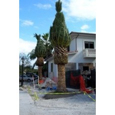 Canary Island Date Palm / Pineapple Palm / Phoenix canariensis 10' Clear Trunk