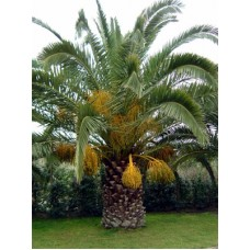 Canary Island Date Palm / Pineapple Palm / Phoenix canariensis 6' Clear Trunk