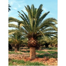 Canary Island Date Palm / Pineapple Palm / Phoenix canariensis 8' Clear Trunk