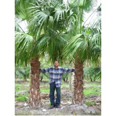 Chinese Fan Palm 6-8' Overall Height
