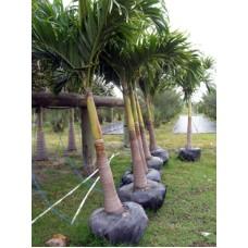 Christmas Palm / Adonidia Merillii Single 8-10' Overall Height