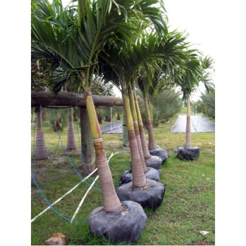 Christmas Palm Adonidia Merillii Triple 8 10 Overall Height