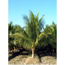 Coconut Palm / Cocos nucifera 14-16' Overall Height