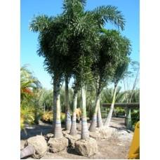 Foxtail Palm / Wodyetia bifurcata 10-12' Overall Height