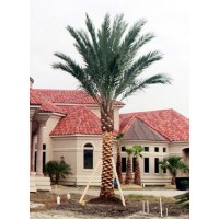 Medjool Palm / True Date Palm / Phoenix dactylifera 12' Clear Trunk