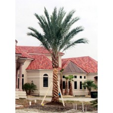 Medjool Palm / True Date Palm / Phoenix dactylifera 8' Clear Trunk
