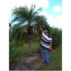 Pygmy Date Palm / Roebelenii / Phoenix roebelenii 5-6' Single