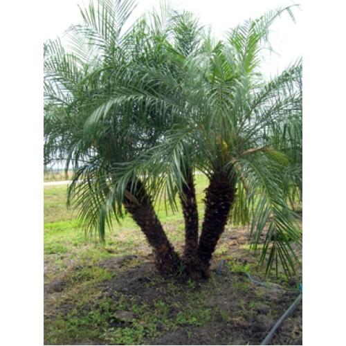 Pygmy Palm Trees