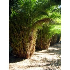 Reclinata / Senegal Date Palm / Phoenix reclinata 10-12' Overall Height