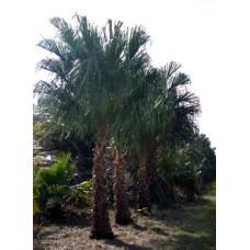 Ribbon Palm / Livistona decipiens / Livistona decora 8-10' OA
