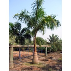 Royal Palm - Roystonea regia 16-18' Overall Height