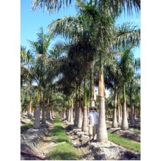 Royal Palm - Roystonea regia 26-30' Overall Height