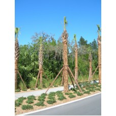 Sabal Palm / Cabbage Palm / Sabal Palmetto 6-18' Clear Trunk
