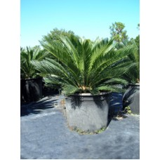 Sago Palm / Cycas revoluta 15 Gallon