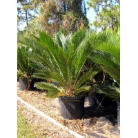 Sago Palm / Cycas revoluta 7 Gallon