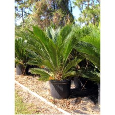 Sago Palm / Cycas revoluta 3 Gallon
