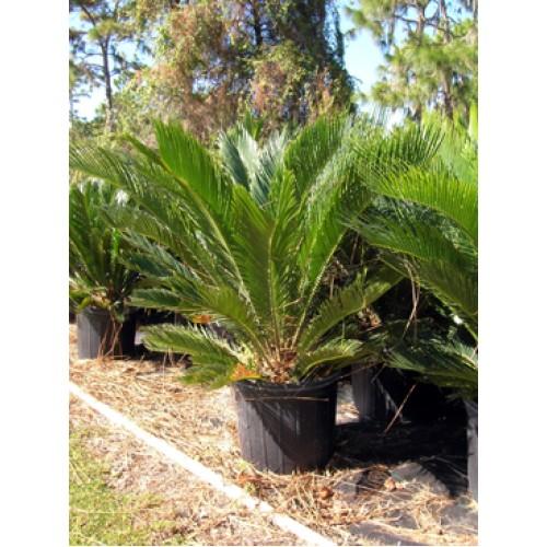 Sago Palm Cycas Revoluta 7 Gallon