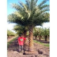 Sylvester Palm / Silver Date Palm / Phoenix sylvestris 6' Clear Trunk