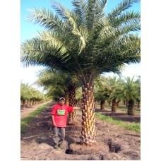 Sylvester Palm / Silver Date Palm / Phoenix sylvestris 4' Clear Trunk