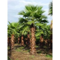 Washington palm / Washingtonia robusta 10-12' Overall Height