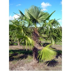 Windmill palm / Trachycarpus fortunei 6' Overall Height
