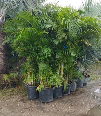 How to care for your areca palm tree hedges in florida for Pictures of areca palm plants