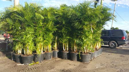 Palm Trees For Los Angeles California Landscaping