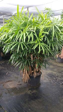 Palm Trees For Sale For Little Rock, Arkansas Landscaping