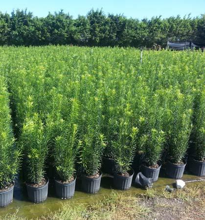 Landscape Hedgess For Sale In Florida