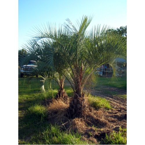 Wholesale Palm Trees Tampa, Florida