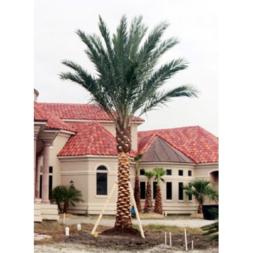 Medjool Date Palms For Sale