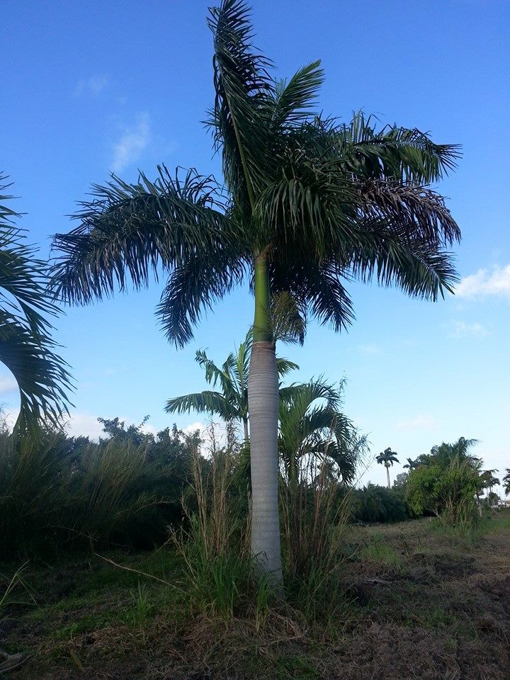 Fort Myers Florida Wholesale Palm Trees