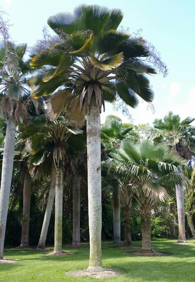 Whole Palm Trees