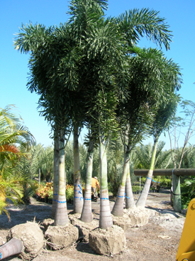 Saint Petersburg Florida Wholesale Palm Trees